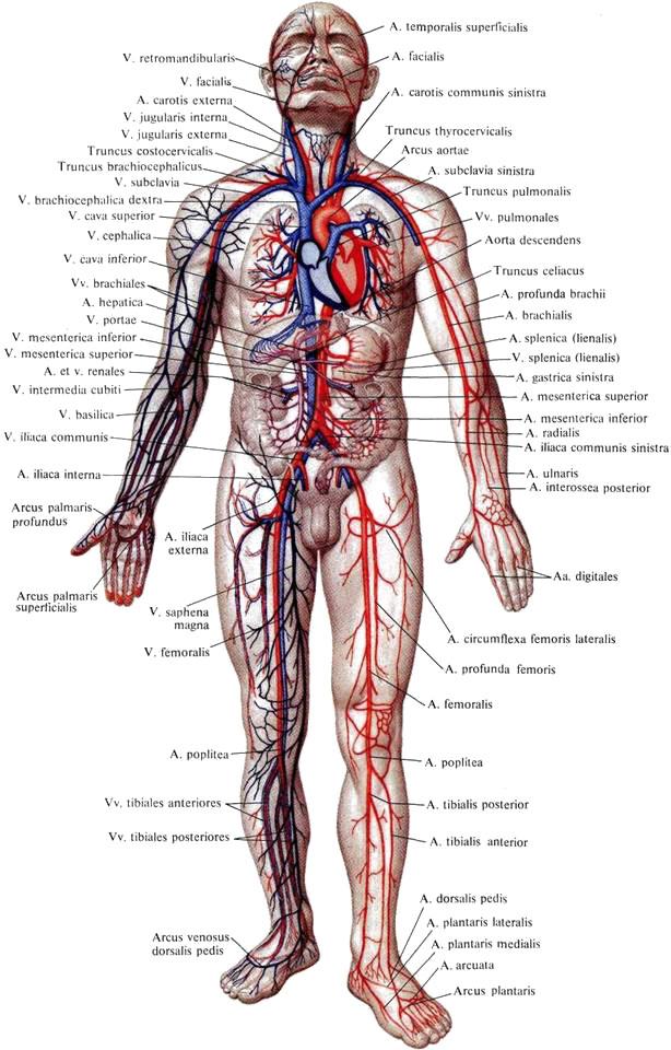 Бедренная артерия, a.