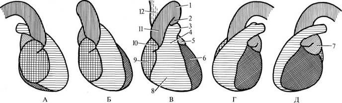 сердца и крупных сосудов в