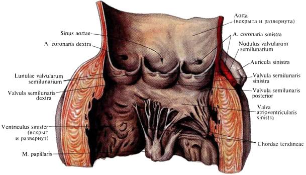 Мышечная оболочка сердца