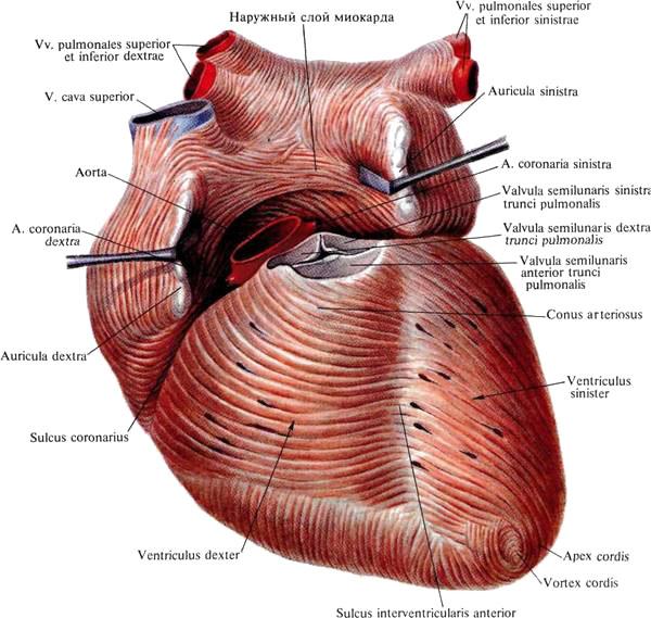 Мышца сердечная фото