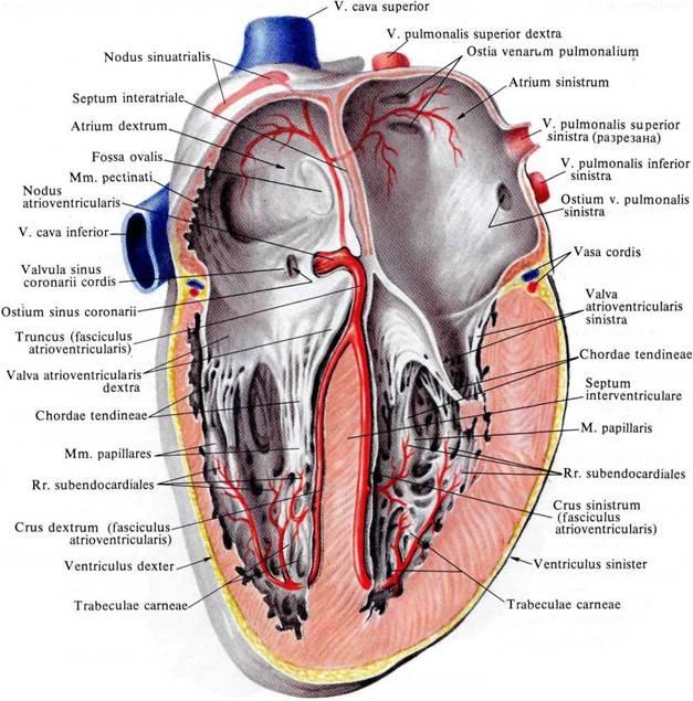 Строение стенки сердца.