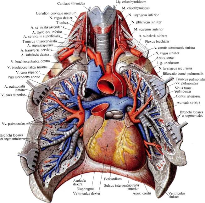 Где находятся легочные артерии