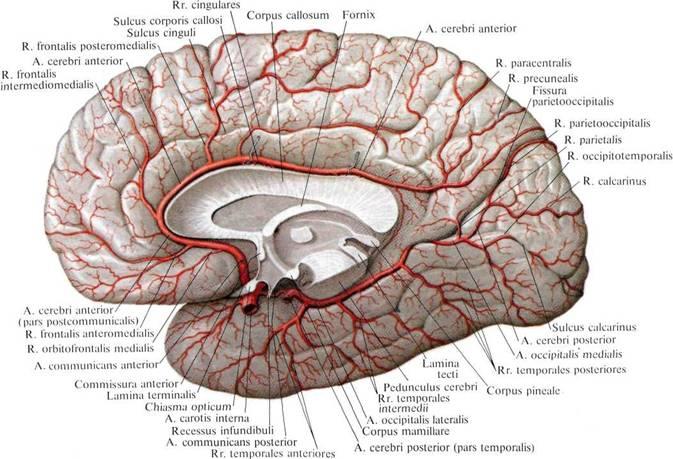 Полушарие Большого Мозга фото