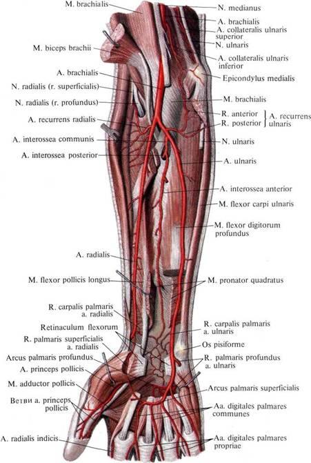 Артериальная сеть плечевого сустава травы для очистки суставов