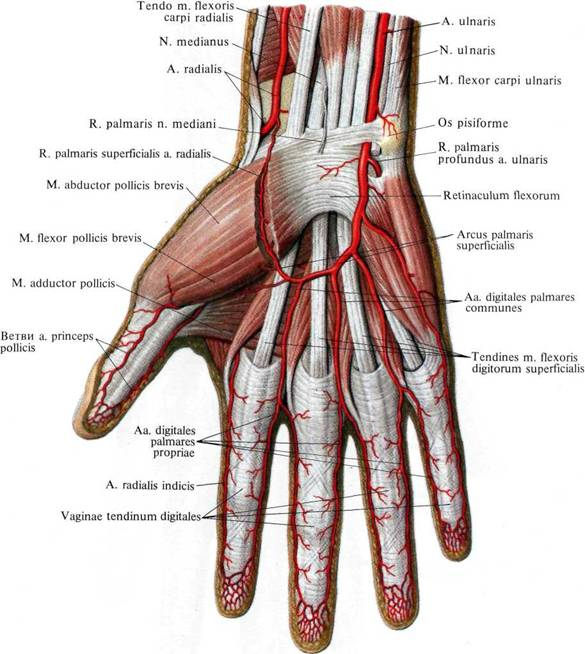 Difference Between Tendon and Ligament  Definition