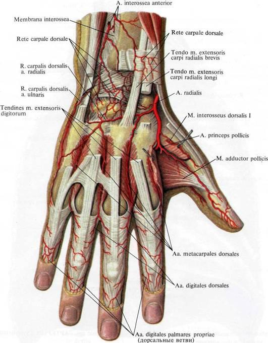 Rete carpale dorsale    Med-koM