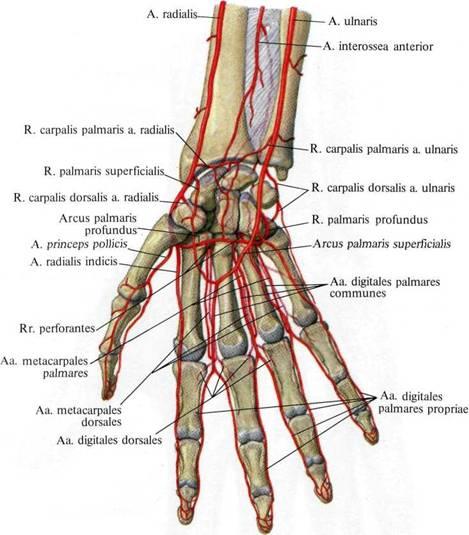 Артериальная сеть плечевого сустава как лечить бурсит локтевого сустава 1 степени