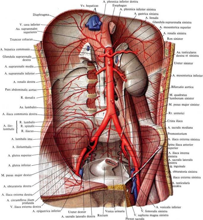 Мышца подвздошнопоясничная фото