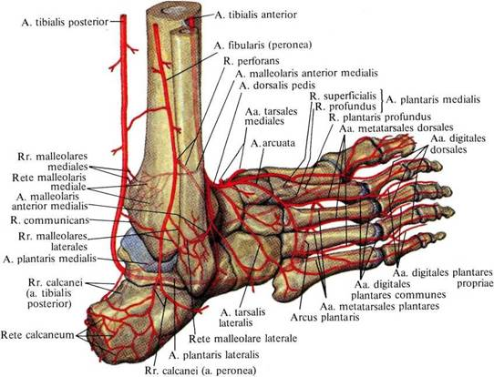 arteria dorsalis pedis arteria tibialis posterior