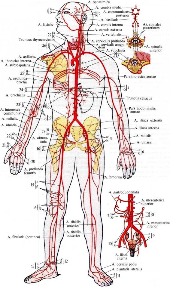 Передняя спинномозговая