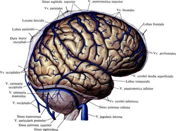 Hirnsinus (Sinus durae matris) || Med-koM