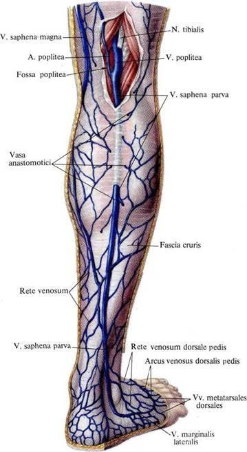 Вены коленного сустава первая помощь при рстяжениях связок и вывихах суставов