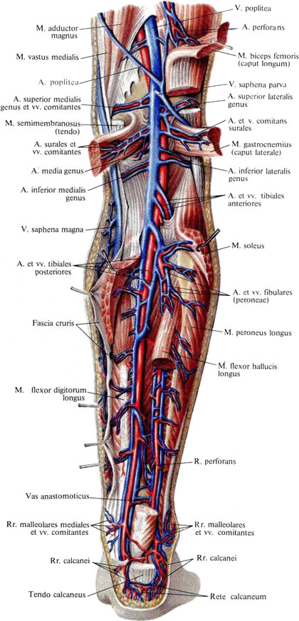 Почему воспаляются вены на ногах
