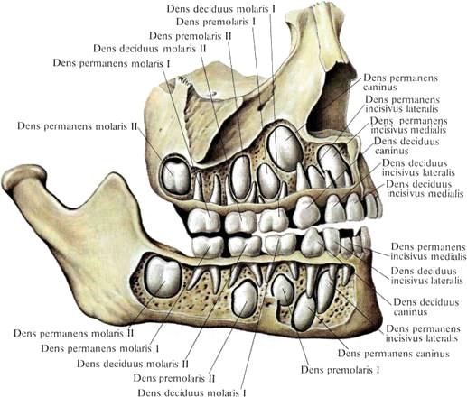 Зубы ребенка 5 лет фото