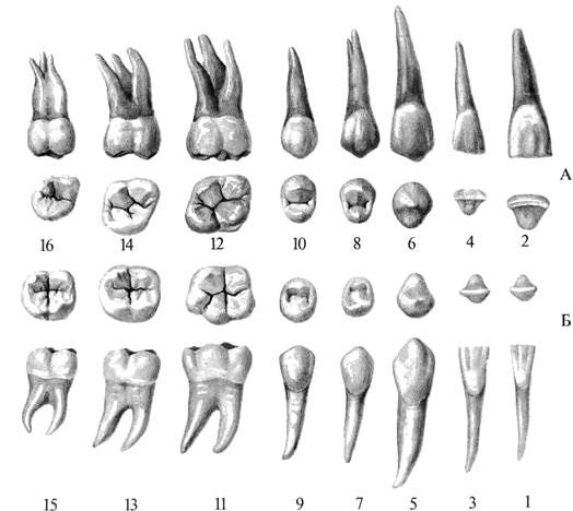 Восьмые зубы на верхней челюсти