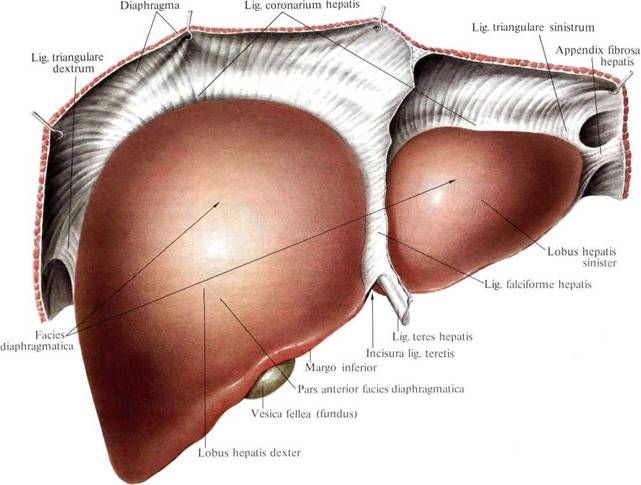 Surface anatomy of the liver