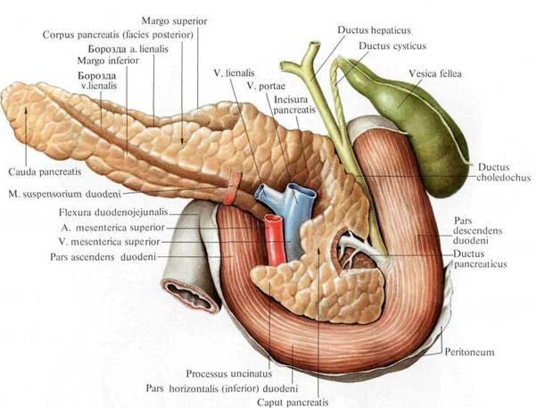 печень желчный пузырь поджелудочная железа лечение УЗИ внутренних органов: печени, желчного пузыря, почек ...