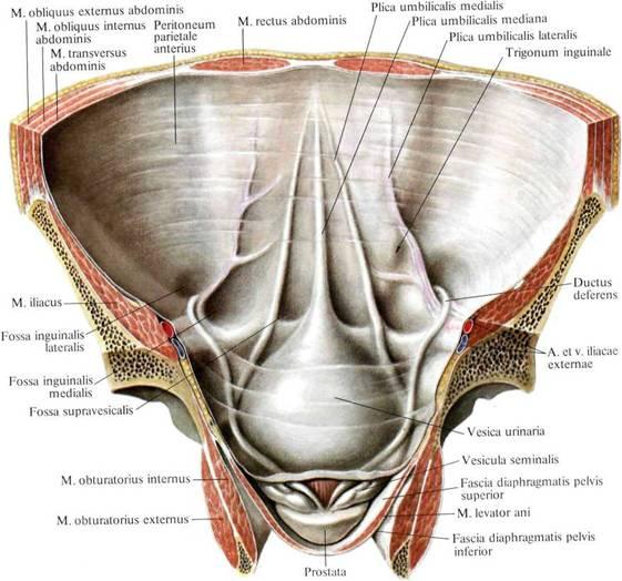 Складки брюшной полости