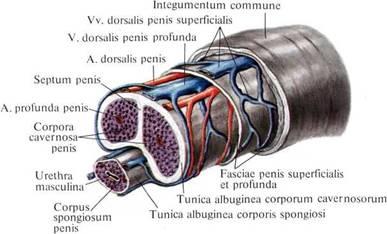 Член тело