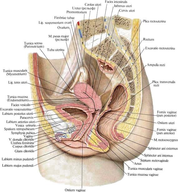 Женский мочеиспускательный