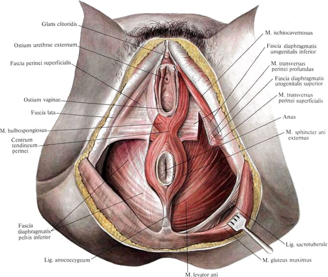 Anatomy of hymen